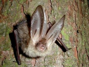 Ozark Big Eared Bat